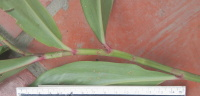 Costus aff. erythrophyllus - Santa Maria, small plant found above resevoir. - Click to see full sized image
