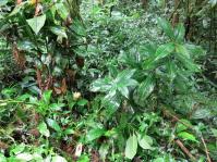 Costus aff. erythrophyllus - Santa Maria, Quebrada Cristalino - Click to see full sized image