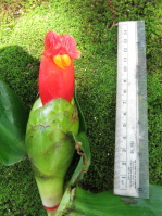 Costus pictus 'San Francisco Red' from Monte Cristo. - Click to see full sized image