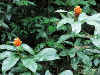 Costus curvibracteatus at type locality, Tapantí - Click to see full sized image