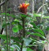 Costus barbatus at Lankester Gardens, Costa Rica - Click to see full sized image