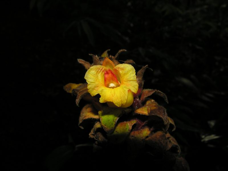 Photo# 12955 - Costus  'Tico Tower' - near Rio Rincon, Osa Peninsula, Costa Rica