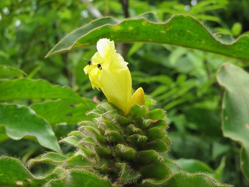 Photo# 12512 - Costus villosissimus  at Leo's Place, Mastatal, Costa Rica