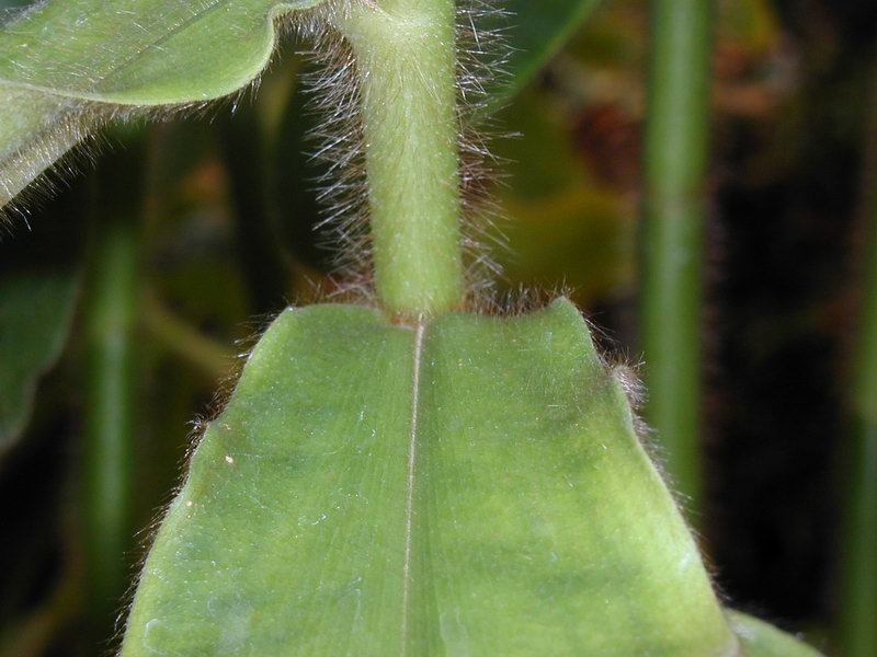 Photo# 12109 - Costus villosissimus at Moody Gardens, Galveston, TX