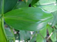 Costus woodsonii  leaf - Click to see full sized image