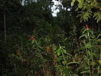 Costus woodsonii at Cahuita National Park, Costa Rica  - Click to see full sized image