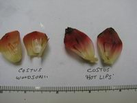 Costus woodsonii   comparison of C. woodsonii to 'Hot Lips' - Click to see full sized image