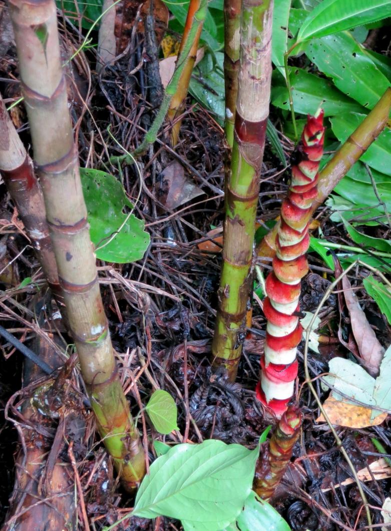 Photo# 17468 - D. strobilaceus subsp. guitterrezii at Manu Learning Center, Madre de Dios, Peru