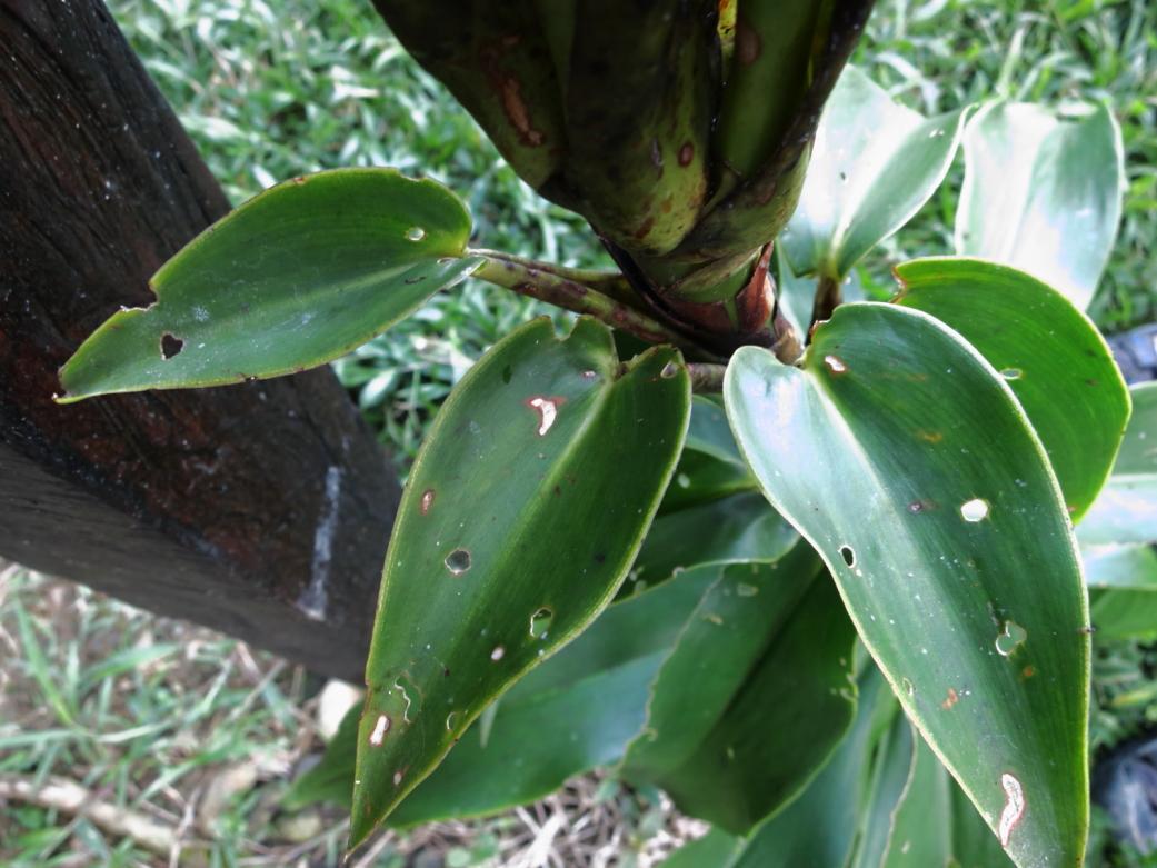 Photo# 17474 - D. strobilaceus subsp. guitterrezii at Manu Learning Center, Madre de Dios, Peru