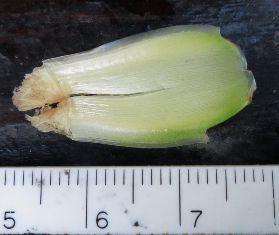 Photo# 17483 - D. strobilaceus subsp. guitterrezii at Manu Learning Center, Madre de Dios, Peru