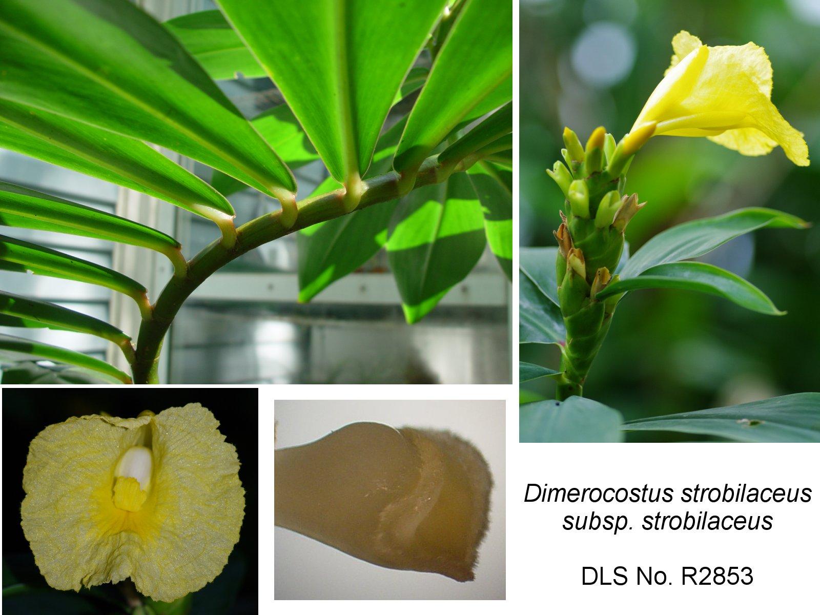 Photo# 17423 - D. strobilaceus subsp. strobilaceus, yellow flowering form from Fairchild Gardens, Miami