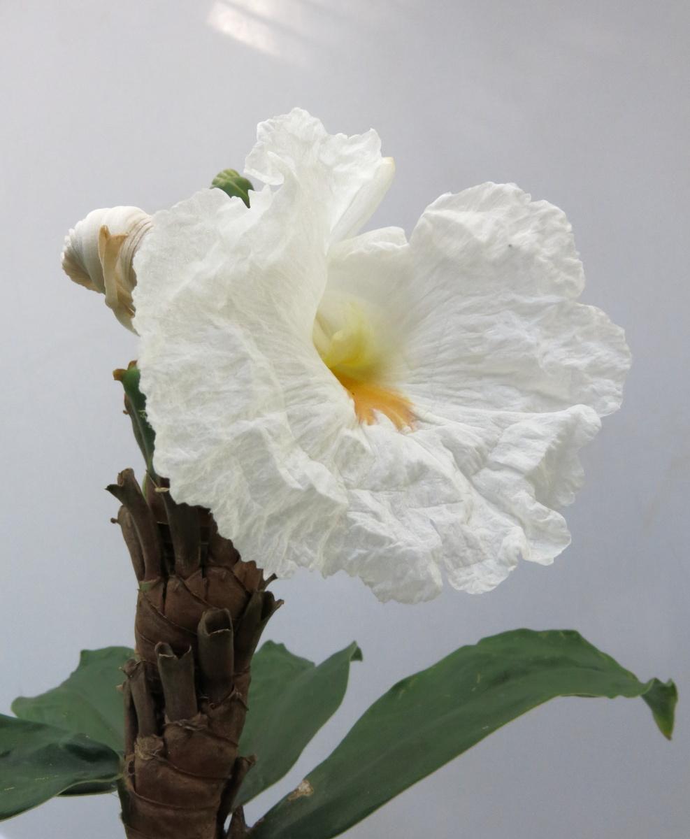 Photo# 17428 - D. strobilaceus subsp. strobilaceus, white flowering form from El Cope, Panama