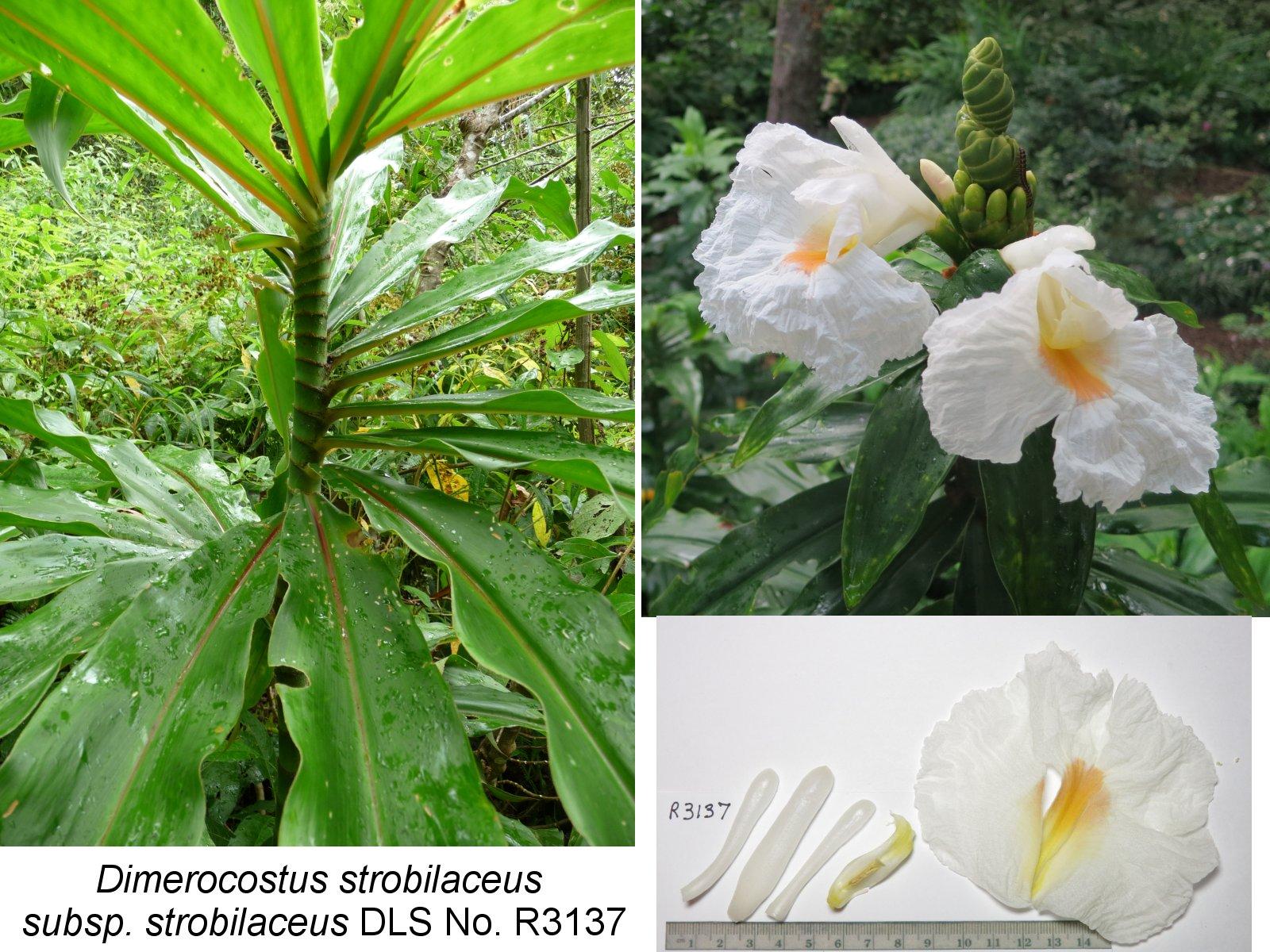 Photo# 17422 - D. strobilaceus subsp. strobilaceus, white flowering form from El Cope, Panama