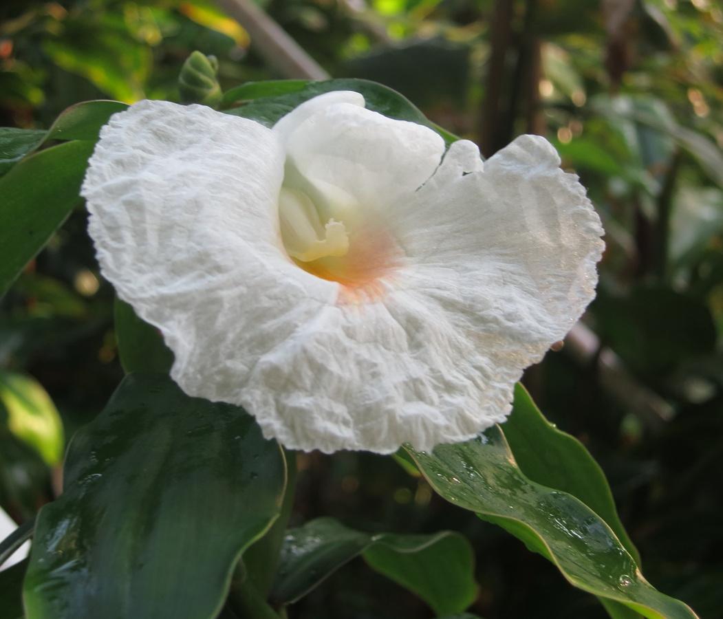 Photo# 17458 - D. strobilaceus subsp. strobilaceus, white flowering form from El Cope, Panama