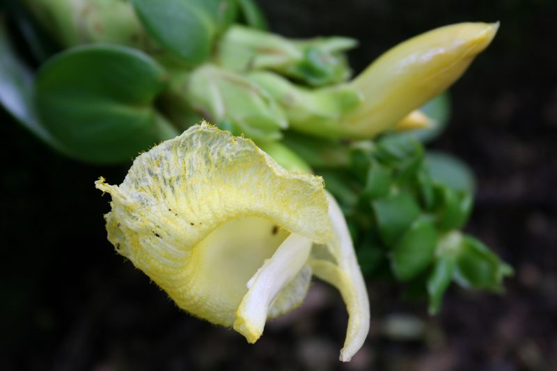 Photo# 12856 - Dimerocostus argenteus at Waimea Audubon Center, Oahu, Hawaii  #75S152