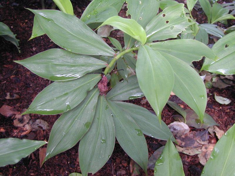 Photo# 1052 - D. strobilaceus subsp. strobilaceus