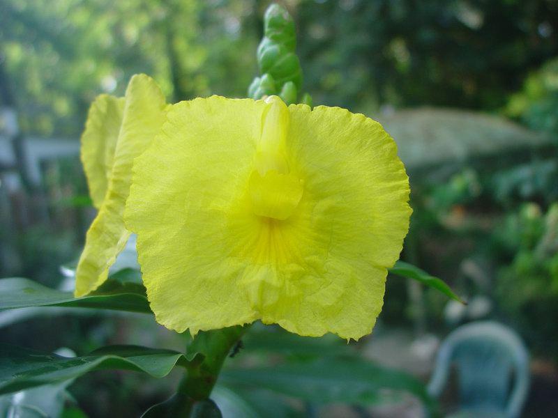 Photo# 10146 - D. strobilaceus subsp. strobilaceus