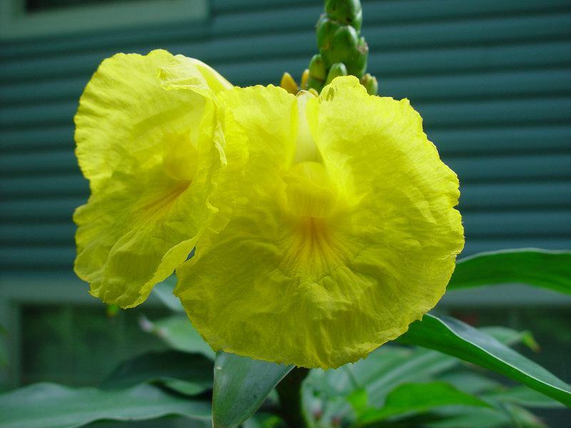 Photo# 10148 - D. strobilaceus subsp. strobilaceus