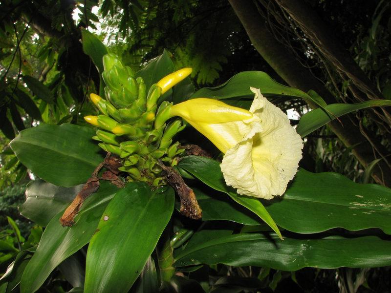 Photo# 12859 - Dimerocostus strobilaceus ssp. gutierrezii at Lyon Arboretum, Oahu, Hawaii