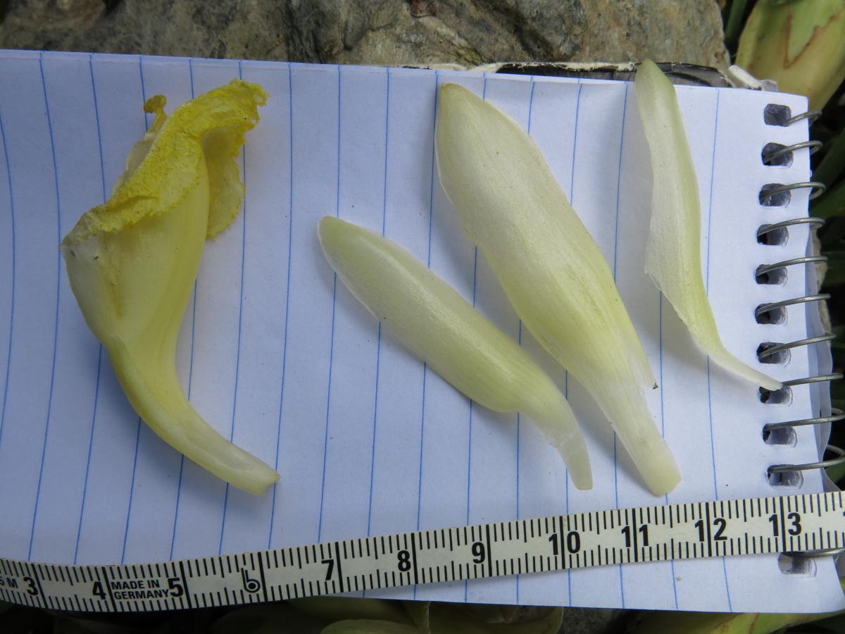Photo# 17635 - Dimerocostus argenteus at Chinchao - corolla lobes and labellum
