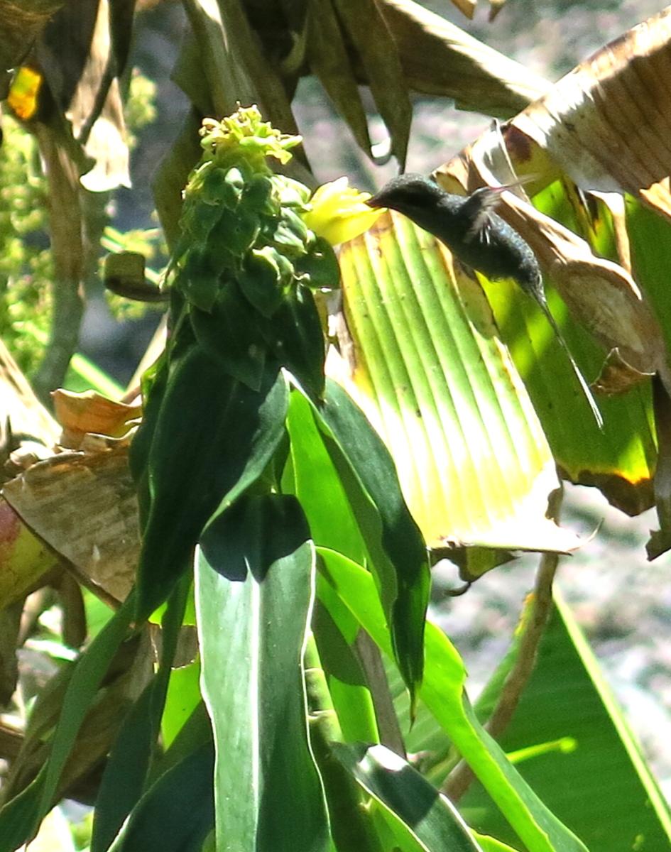 Photo# 17641 - Dimerocostus argenteus with HUMMINGBIRDat Chacahuassi