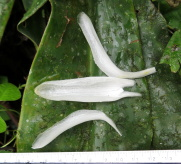 D. strobilaceus subsp. strobilaceus, white flowering form near Bahia Solano, Colombia    - Click to see full sized image