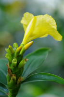D. strobilaceus subsp. strobilaceus, yellow flowering form from Fairchild Gardens, Miami    - Click to see full sized image