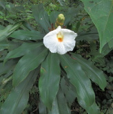 D. strobilaceus subsp. strobilaceus, white flowering form, upper Achicaya valley,  Colombia    - Click to see full sized image