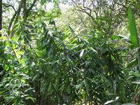 Dimerocostus argenteus at Waimea Audubon Center, Oahu, Hawaii  #75S152  - Click to see full sized image