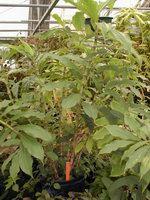 D. strobilaceus subsp. strobilaceus at Moody Gardens, Galveston, TX - Click to see full sized image
