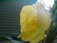 D. strobilaceus subsp. strobilaceus - Click to see full sized image