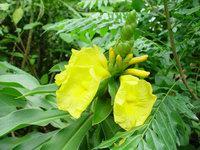 D. strobilaceus subsp. strobilaceus  at Tropical Paradise Nursery, Davie, FL - Click to see full sized image