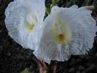 D. strobilaceus subsp. strobilaceus White at the National Tropical Botanical Garden, Kauai, Hawaii - Click to see full sized image