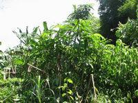 Dimerocostus aff. near Cabrachi in SE Costa Rica  - Click to see full sized image