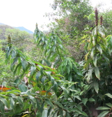 Dimerocostus argenteus along road to Villa La Gloria.  Seeds collected from this plant. - Click to see full sized image