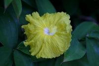 Monocostus uniflorus at the National Tropical Botanical Garden, Kauai, Hawaii  - Click to see full sized image