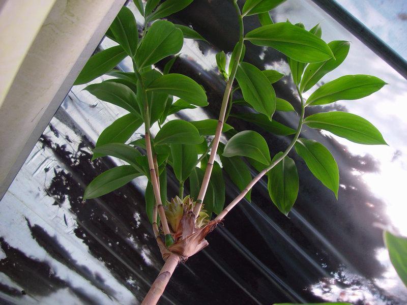 Photo# 7118 - Tapeinochilos densum  at Tom Wood Nursery, Archer, FL