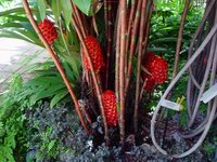 Tapeinochilos ananassae  at Fairchild Tropical Gardens, Miami, FL  - Click to see full sized image