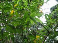 Tapeinochilos piniformis at Lyon Arboretum, Oahu, Hawaii  - Click to see full sized image