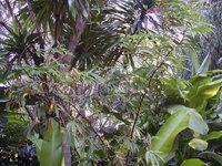 Tapeinochilos pinnatiformis  at Fairchild Tropical Gardens, Miami, FL  - Click to see full sized image