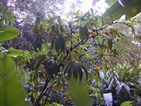 Tapeinochilos pinnatiformis  at Fairchild Tropical Gardens, Miami, FL  - Click to see full sized image