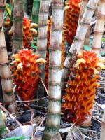 T.  pubescens - photo by  Ann Cains, El Arish Tropical Exotics       - Click to see full sized image