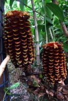 T.  solomonensis - photo by  Ann Cains, El Arish Tropical Exotics    - Click to see full sized image